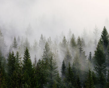 Foggy Trees Web